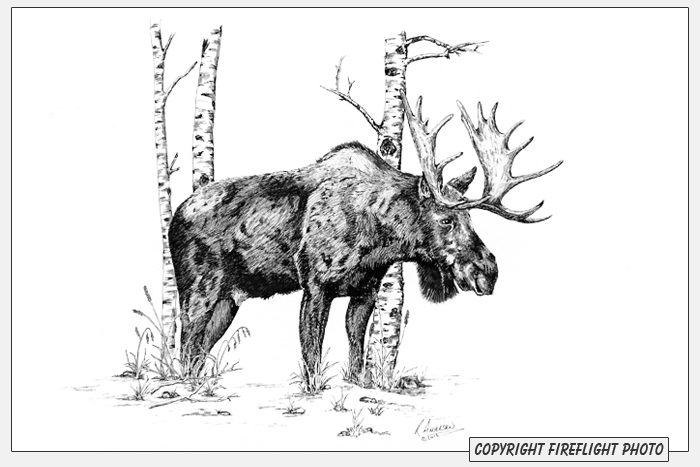 Bull Moose Pen and Ink Drawing