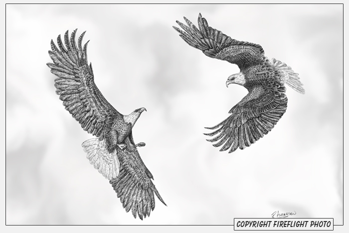 Bald Eagle Fight Pen and Ink