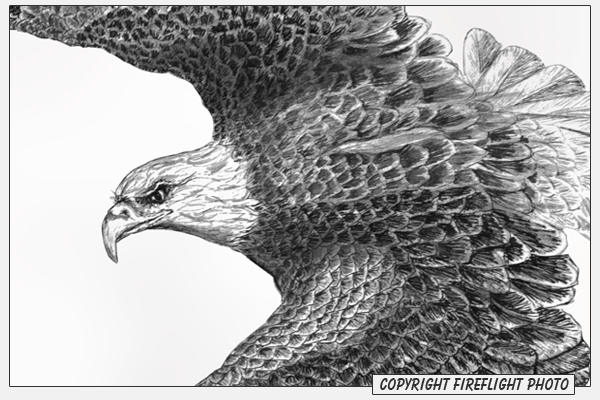 Bald Eagle Pen and Ink Drawing Detail