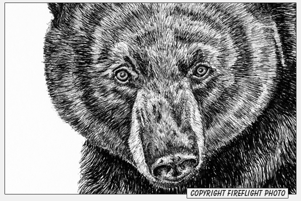 Black Bear Pen and Ink Drawing Detail