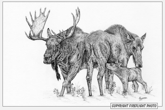 Moose Family Pen and Ink