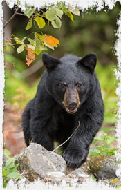 Photo of Black Bear in NH