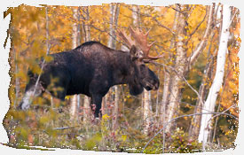 Bull Moose in Foliage NH