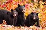 Female Black Bear and Cubs in Foliage Photo