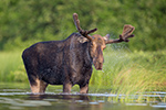 Bull Moose Shaking Off Water
