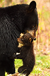 Black Bear Carrying Cub Photo