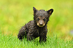 Wet Tiny Black Bear Cub Photo