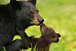 Wet Tiny Black Bear Cub Kissing Mum Photo