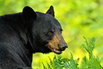 Black Bear Portrait Photo