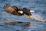 Bald Eagle Grabbing a Fish Photo