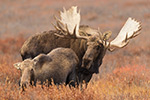 Big 70 Inch Bull Moose Courting Cow Alaska Photo