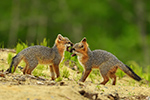 2 Gray Fox Kits Playing