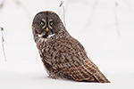 Great Gray Grey Owl in Snow Photo