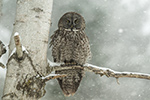 Great Gray Grey Owl in Birch Tree During Blizzard Photo