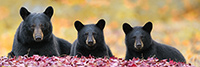 Female Bear and Two Cubs in Foliage Panoramic Photo