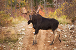 54 Inch Bull Moose NH Photo