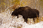 Bull Moose in snow Photo