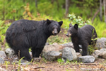 Beautiful Wet Black Bear and Cub