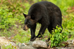 Male Black Bear in NH