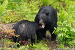 Male and Female Black Bear in NH