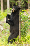 Black Bear Scent Marking