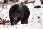 Black Bear in Snow Photo