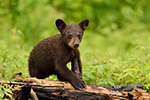 Black Bear Cub on Burnt Wood