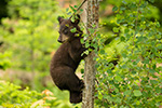 1 Month Old black bear Cub in Tree