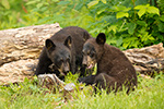 Black Bear and Cubs Photo