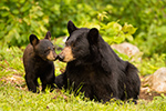 Black Bear and Cub Kissing