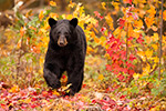 Black bear in Foliage