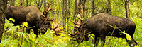 Two Moose Fighting Panoramic Photo