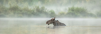 Cow Moose in Foggy Pond Panoramic Photo