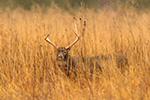 8pt Whitetail Deer In Long Grass